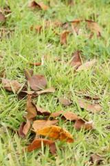 芝生と落葉2