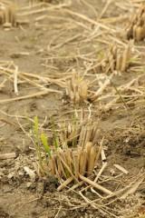稲を刈り取った跡1