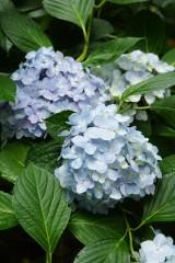 アジサイの花・青・薄紫1