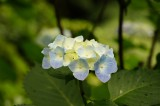 アジサイ 花・青・薄紫11