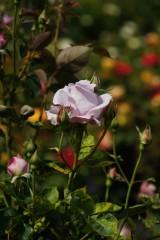 バラの花(万博公園)・薄紫1