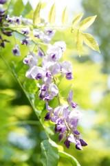 藤の花(明るめ)