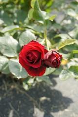 バラ 花(万博公園)・紅6