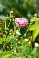 バラの花・ピンク3