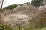 吉野・上千本 桜(4/15)