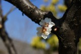 梅の花・枝3
