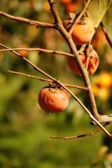 熟し過ぎた柿1