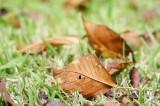 落ち葉・桜6