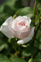 バラの花・一輪(白・薄いピンク)