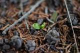 ヒノキの実と新芽