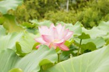 蓮 花・葉1