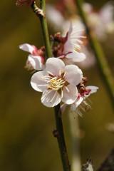 梅の花25