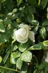 バラ 花(万博公園)・白2