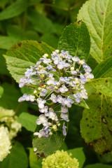 アジサイの花・青・薄紫7
