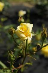 バラ 花(万博公園)・黄色9