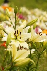 ユリ 花とつぼみ・白4
