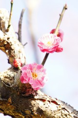 梅 花 ピンク