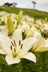 ユリ 花とつぼみ・白6