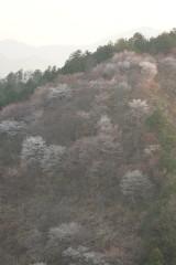 吉野・下千本 桜