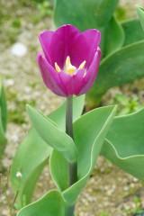 チューリップの花 紫