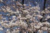 明日香村・石舞台の桜28