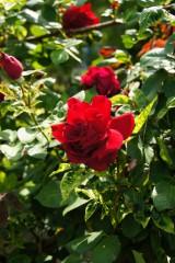 バラの花(万博公園)・紅5