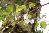 桜の葉・花