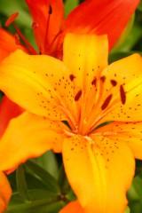 ユリの花・オレンジ1
