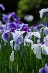 ショウブ 花・紫10