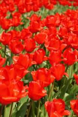 チューリップ(赤)の花畑3