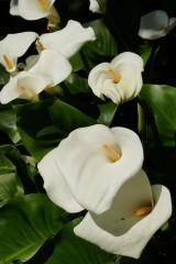 カラーの花(仏炎苞)・白3