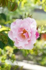 バラの花(万博公園)・ピンク3