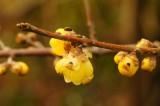 ロウバイ(蝋梅)の花とつぼみ
