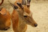 奈良の鹿・ナナメ2