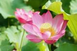 蓮 花11