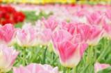 チューリップ(ピンク)の花畑1