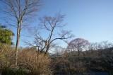 吉野 桜 木