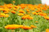 ポットマリーゴールドの花畑・オレンジ1