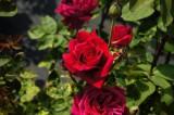 バラの花(万博公園)・紅3