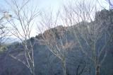 吉野の桜の木