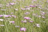 アグロステンマ(麦仙翁)の花畑1