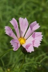 コスモスの花・ピンク アップ1