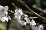 明日香村・甘樫丘 桜