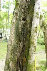 傷んだ樹木2