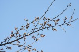 吉野の桜のつぼみ