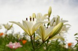 ユリ 花とつぼみ・白3