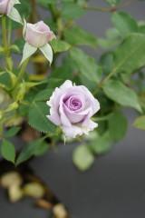 バラの花・薄紫3