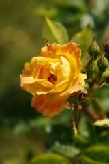バラ 花(万博公園)・赤と黄色6