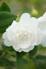 バラの花・白2