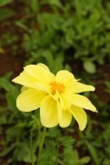 ダリアの花・黄色1
